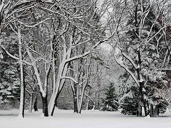 Westward facing trees shows signs of the strength of the snow storm in a wooded area near the Cheltenham Mall on Dec. 10, 2013. (RON TARVER / Staff Photographer )