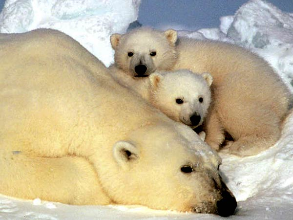 A polar bear rests with her cubs on the ice pack in the Beaufort Sea in Alaska. (AP file photo)