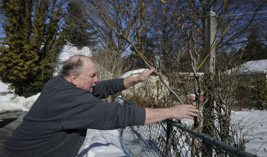 Ed MacFarland leans over a snow bank to straighten a damaged climbing Iceberg rose. The fluctuating temperatures have heaved out some perennials that will need replanting.