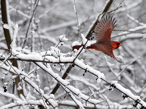 A Northern Cardinal flies from its snow-covered perch on Monday, April 14, 2014, at the Heckrodt Wetland Reserve in Menasha, Wis. The cold and perhaps some snow are headed this way. (AP Photo/The Post-Crescent, Dan Powers)