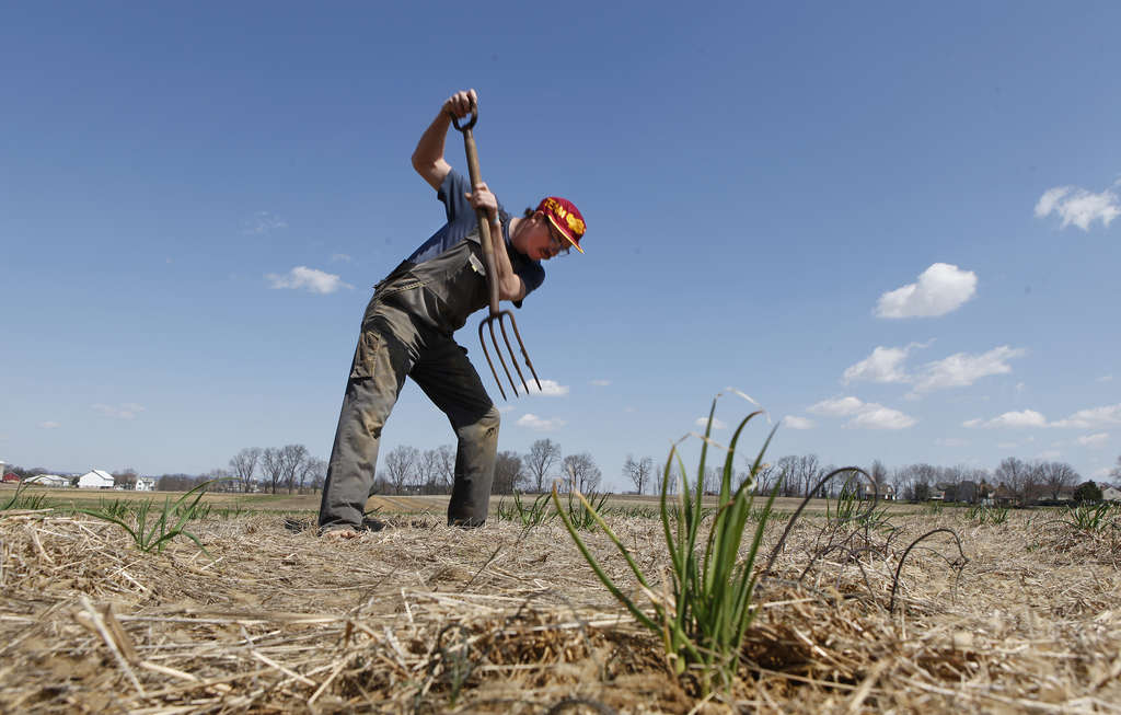 Tom Culton digs up organic spring garlic on the family farm in Lancaster County. The spring garlic will be in restaurants the same day.