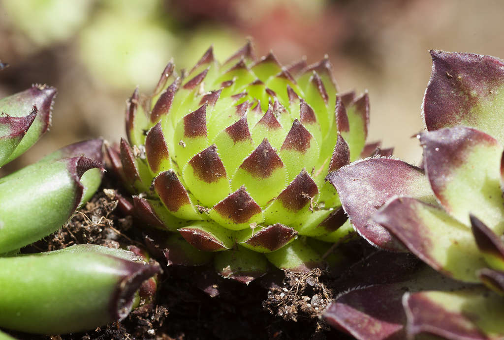 The textural rosettes, subtle colors, and quirky features of tiny succulents - like Sempervivum sobolifera (above) - lend themselves to creating unusual and prized wreaths.