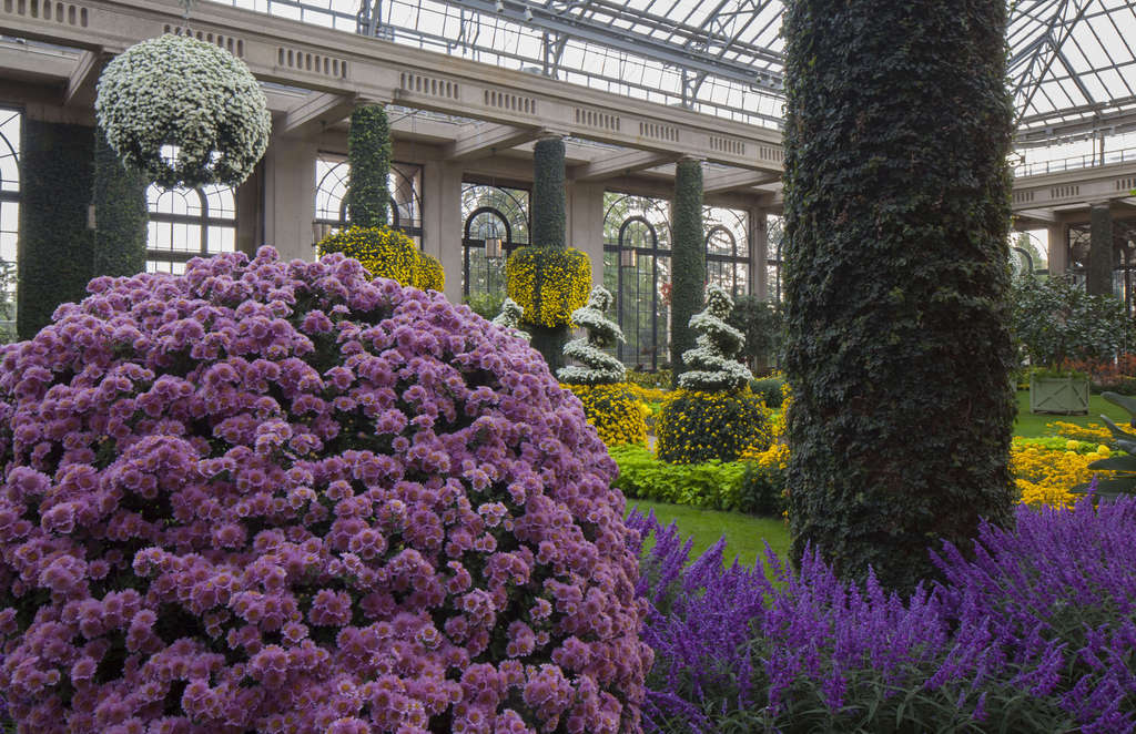 "Longwood Gardens ´ Chrysanthemum Festival shows off 11,000 mums of many colors, including a ""thousand bloomer"" that was just a cutting a little over a year ago. DANIEL TRAUB"