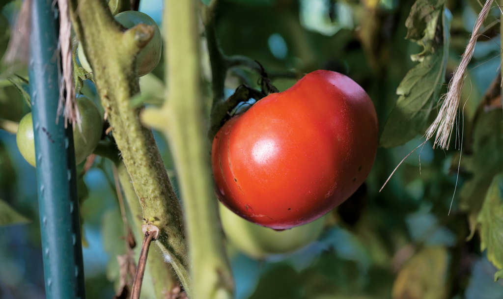 "The ""Big Boy,"" introduced by Burpee after World War II, was the first popular hybrid tomato. LeHoullier pitted heirlooms against hybrids in an experiment."