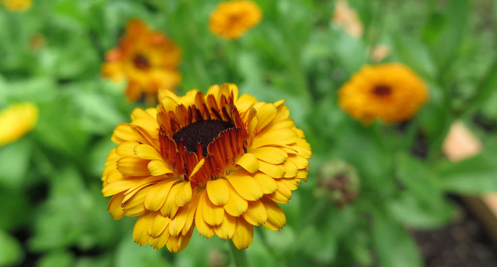 Calendula,used to treat skin irritations, grows at the Boiron Medicinal Garden in Kutztown.
