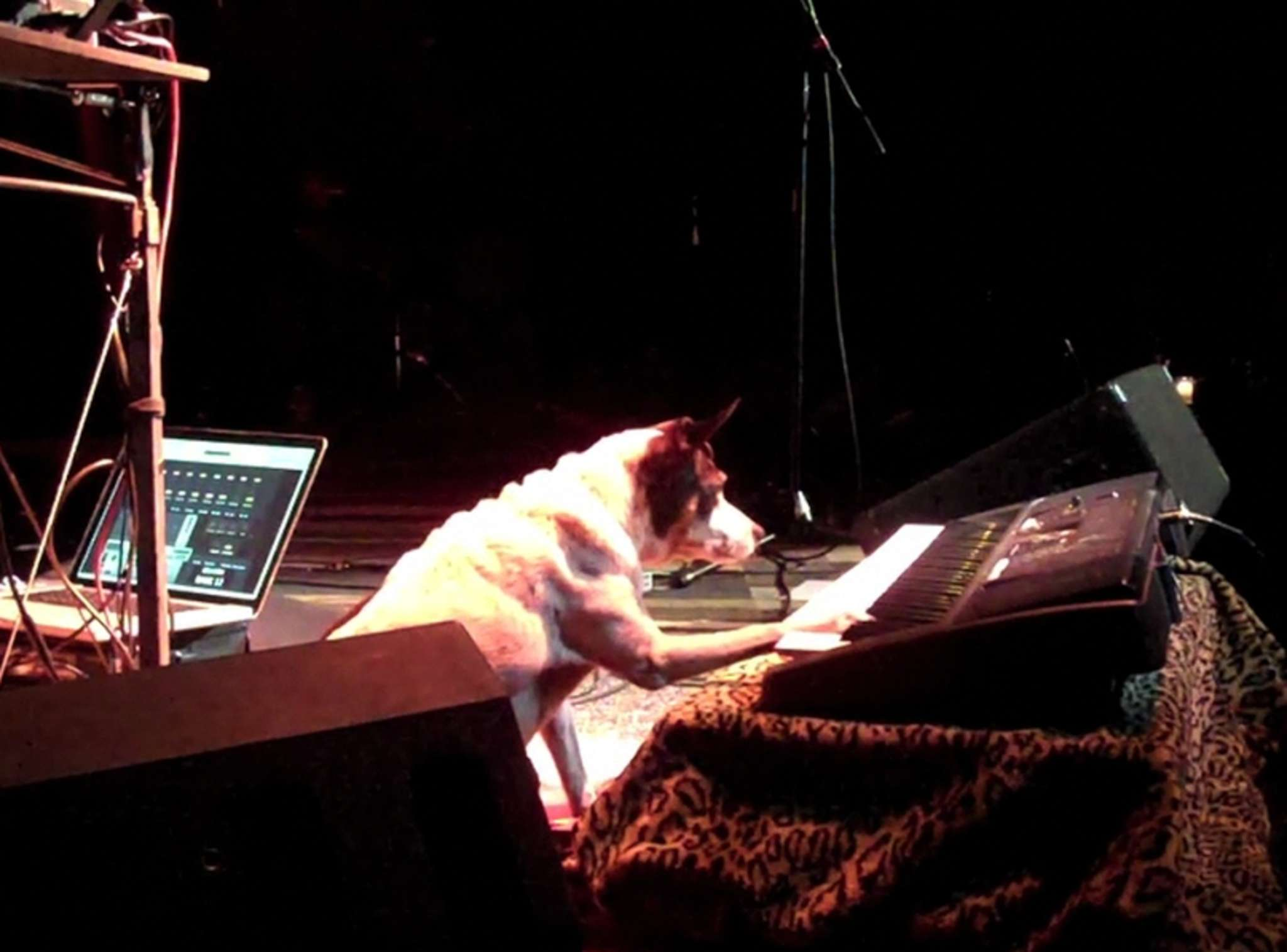 "Lolabelle the rat terrier in the title role of Laurie Anderson´s semidocumentary ""Heart of a Dog."""