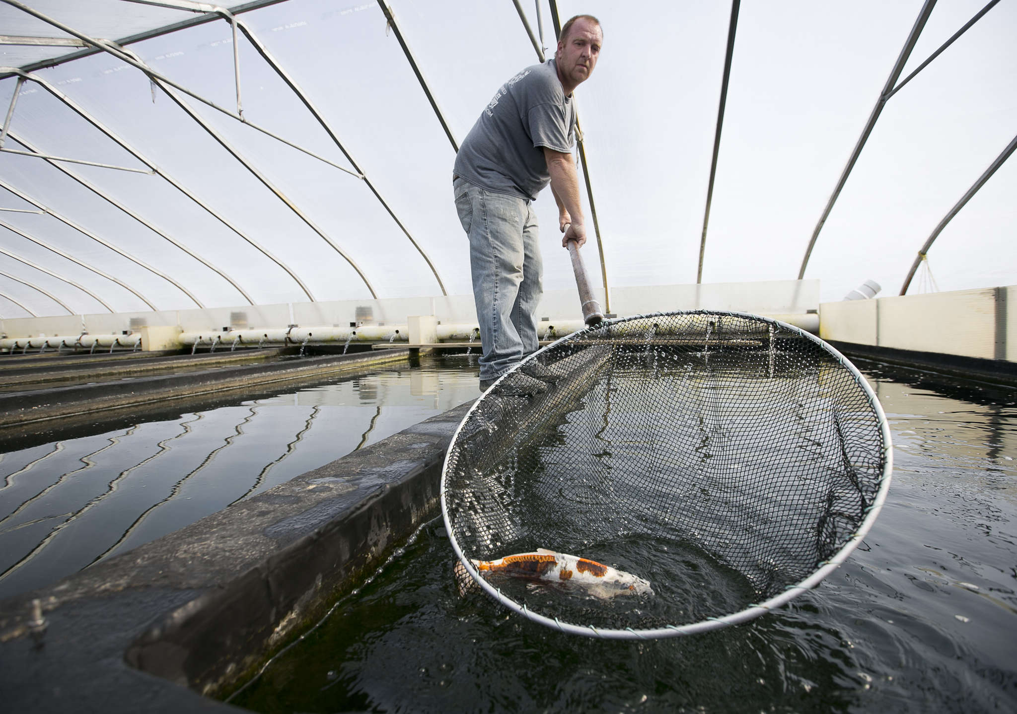 Matthew McCann removes koi from a tank for photographing at the farm, which produces about 10,000 babies a year.