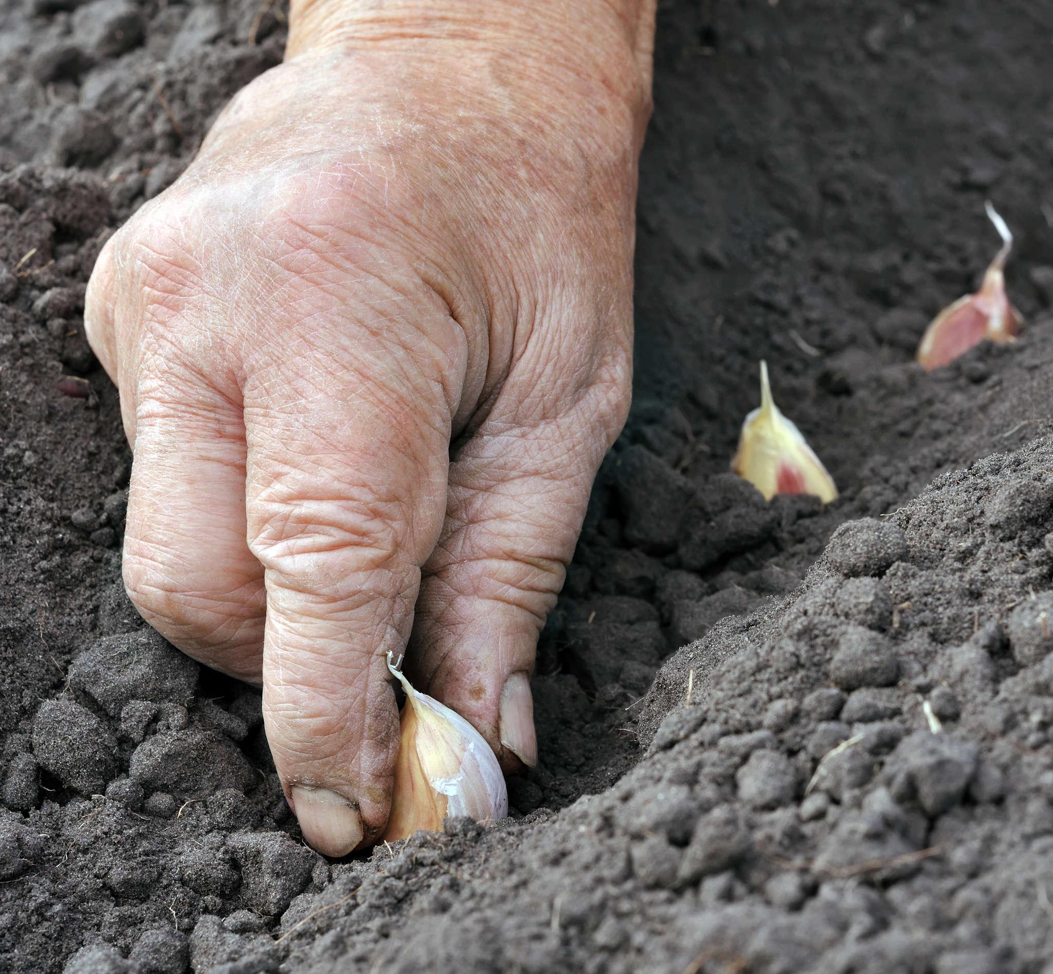 После чего сажать лук? Посадить лук