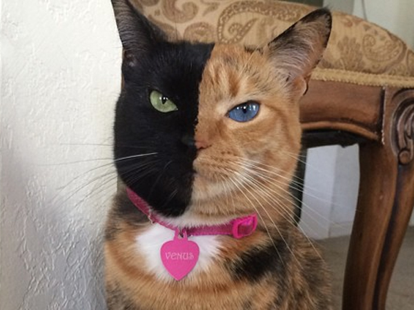 Faced Cat Has Cousins - Venus two faced cat