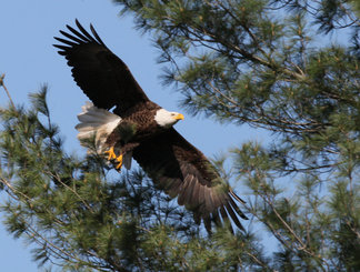 Bald eagle in flight. (Pennsylvania Game Commission photo)