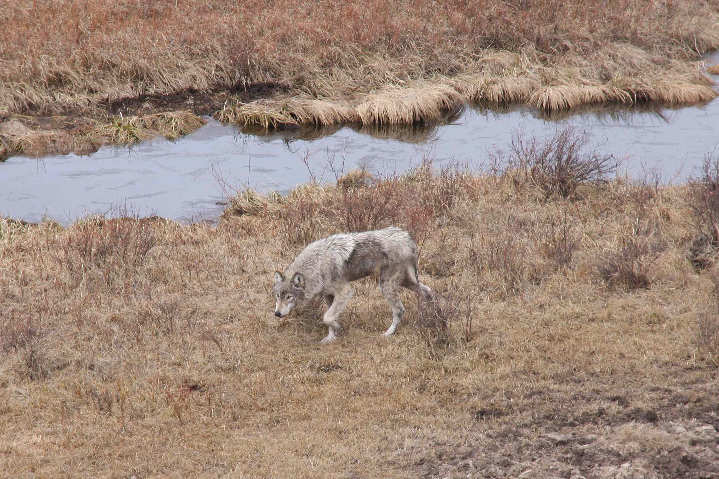 A Yellowstone wolf attacked by mange. Mange causes animals to lose fur, which can be deadly in the frigid Wyoming winters.