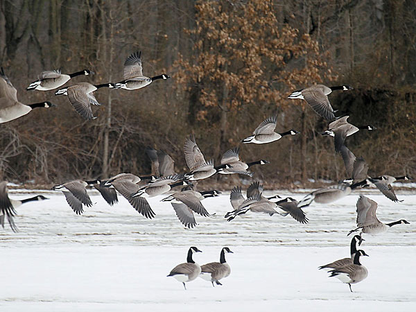 Canada geese take off at a Chesterfield farm. AKIRA SUWA / Staff Photographer