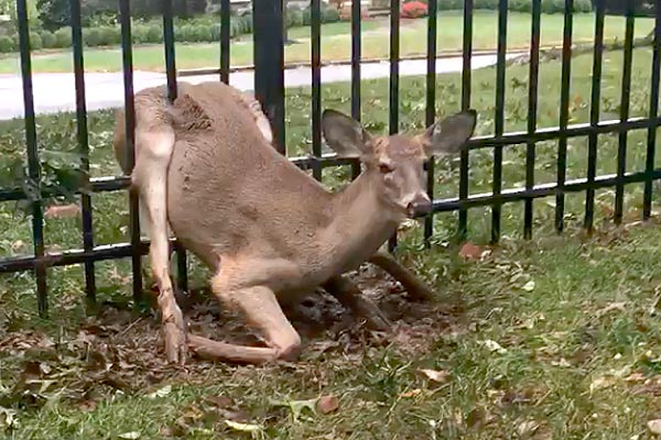Watch Deer Trapped In Fence Freed On Main Line Philly