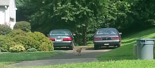 Jim McGory of Lower Southampton took this photo of what is believed to be a fox with a severe case of mange.