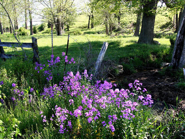 This May 10, 2009 photo shows phlox daisies which are among the many meadow flowers that can thrive in traditional landscapes -- even in city settings. Prairie garden combinations include flowers, shrubs and trees. They require little attention, add year-´round color and interest and provide wildlife-friendly habitat. (AP Photo/Dean Fosdick)