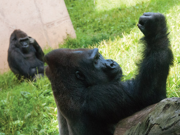 Jabari (front) and Kira, who arrived at the Philadelphia Zoo in early July 2013, have given officials reason to hope for the first gorilla baby in nearly three decades.