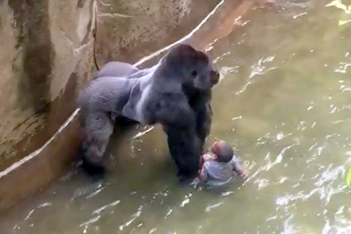 After falling into the gorilla enclosure at the Cincinnati Zoo on May 28, 2016, a young boy was dragged through the water by a silverback gorilla. While at times the gorilla appeared to be attempting to shelter the boy, eventually authorities had to put the gorilla down.