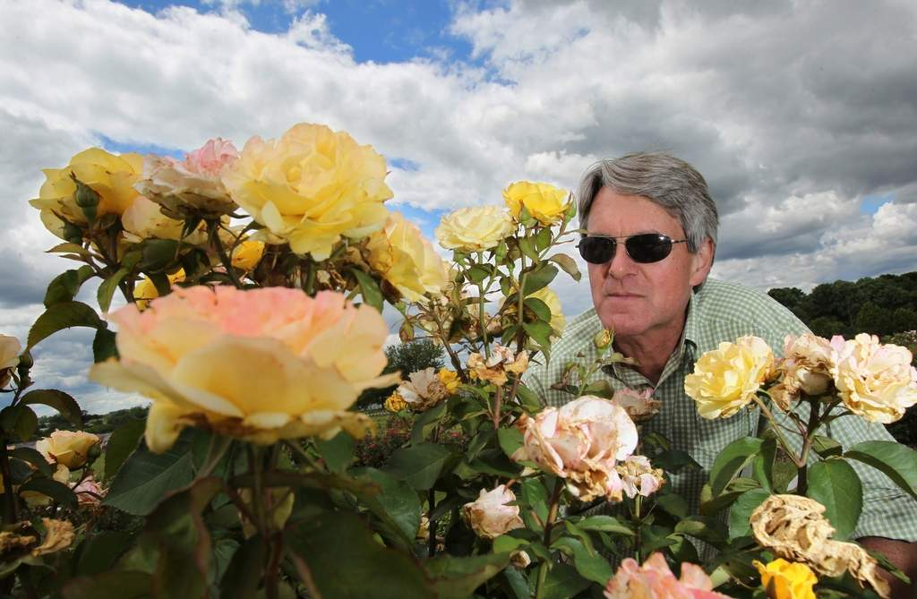 Steve Hutton, of rose breeder Conard-Pyle, checks test roses that get no water, no pesticides, no pruning for several years. CHARLES FOX / Staff  Photographer