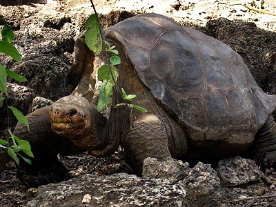 Lonesome George, whose failed efforts to produce offspring made him a symbol of disappearing species, was found dead on Sunday, June 24, 2012, officials at the Galapagos National Park announced. Lonesome George was believed to be the last living member of the Pinta island subspecies and had become an ambassador of sorts for the islands off Ecuador&acute;s coast whose unique flora and fauna helped inspire Charles Darwin&acute;s ideas on evolution. (AP Photo/ Galapagos National Park)<br />