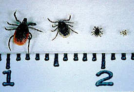 The black-legged tick (Ixodes scapularis), left to right: adult female, adult male, nymph, and larva on a centimeter scale (2.5 cm=1 inch). (Michigan.gov)