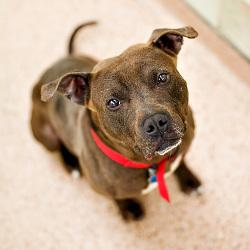 Hi, my name is Nathan and I am a 1 year old Pit. I was brought to the Pennsylvania SPCA as a transfer from another shelter. My new friends here think I am a really hot dog! I love people and am very happy when they pet and hug me. I think I would make a great new friend to just about anyone. I am a little shy around other dogs so if you have other animals at home bring them with you so we can meet first. Also bring your children to meet me first.
