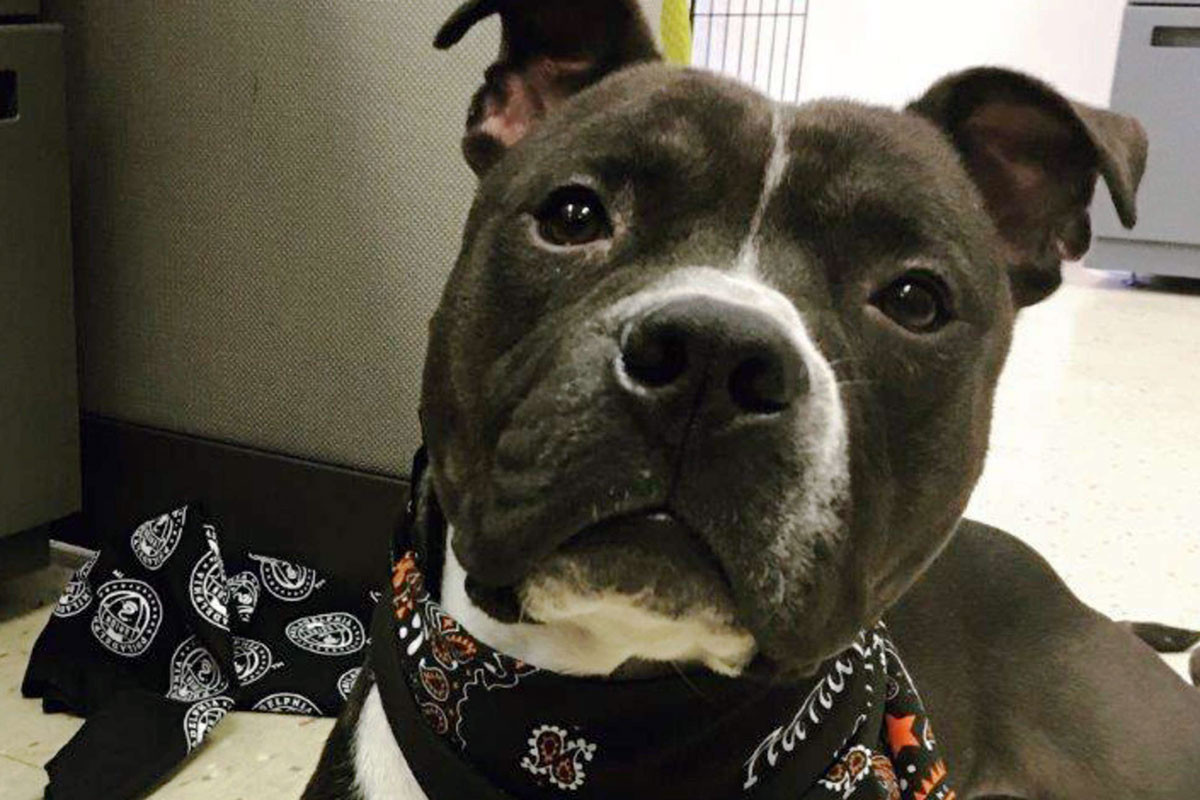 Oliver, a 1-year-old male pit-bull mix.