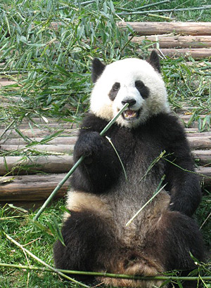 The Chengdu Panda Breeding and Research Center is home to 87 pandas.