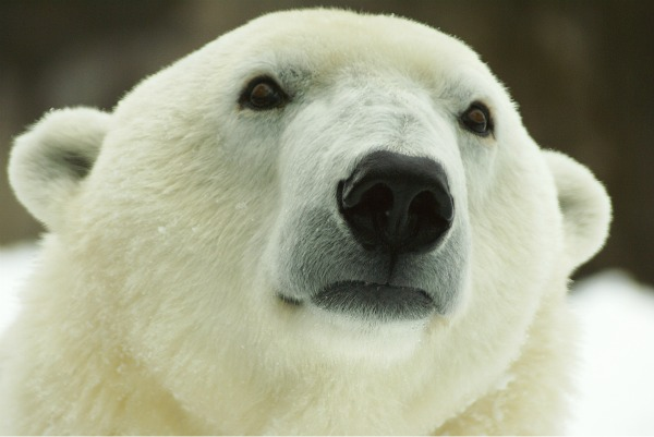 One of the Philadelphia Zoo polar bears. (Philadelphia Zoo photo)