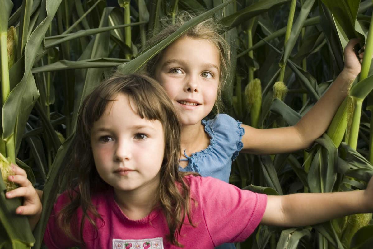 Children navigate a corn maze.