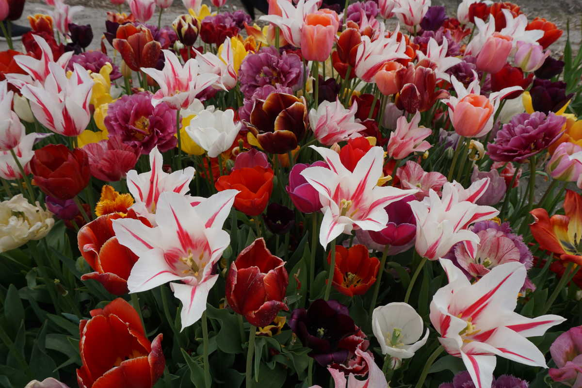 PHS will plant 20,000 tulip bulbs around Center City.