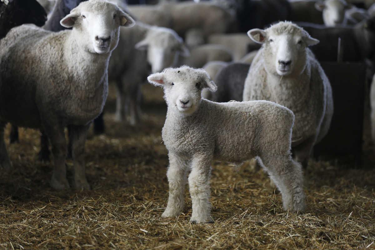 Polypay – Garden State Sheep Breeders