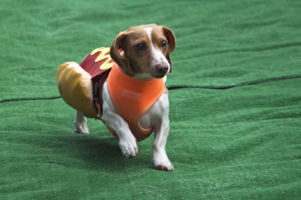 A dog heads toward the finish line during the annual Wiener Dog Race at Lucky's Last Chance to benefit PAWS (Philadelphia Animal Welfare Society) July 26, 2017.