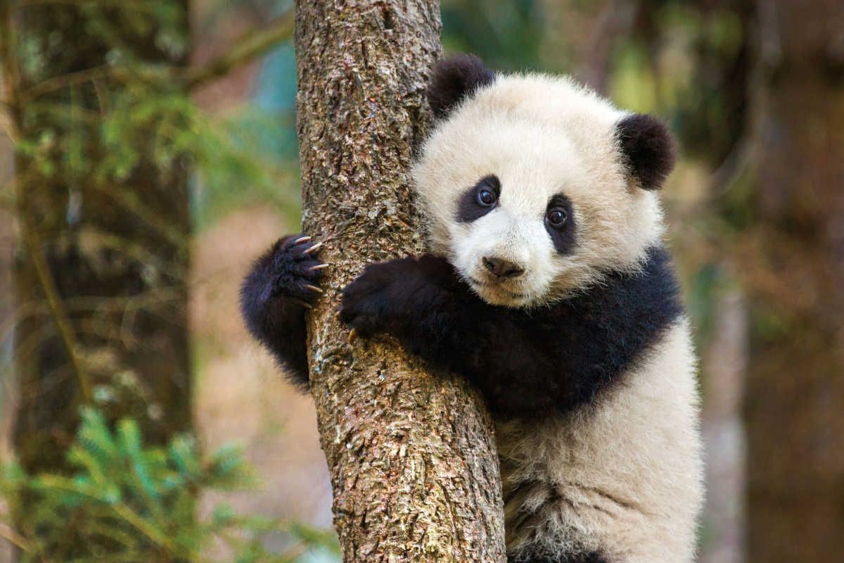 A Panda featured in 'Born in China.'