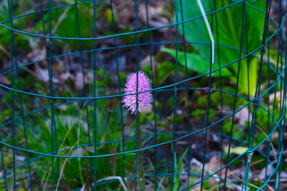 A swamp pink, with a protective anti-deer cage around it, blooms at Shore Gate Golf Club.