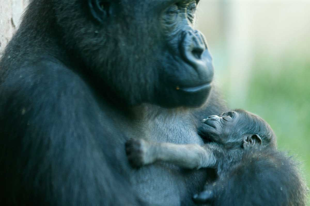 Baby Gorilla Makes Debut At Philadelphia Zoo Philly