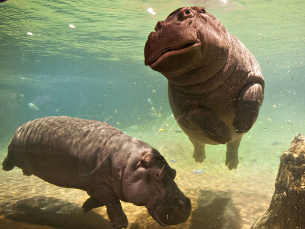 Meet Nile hippos Button and Genny at the Adventure Aquarium.