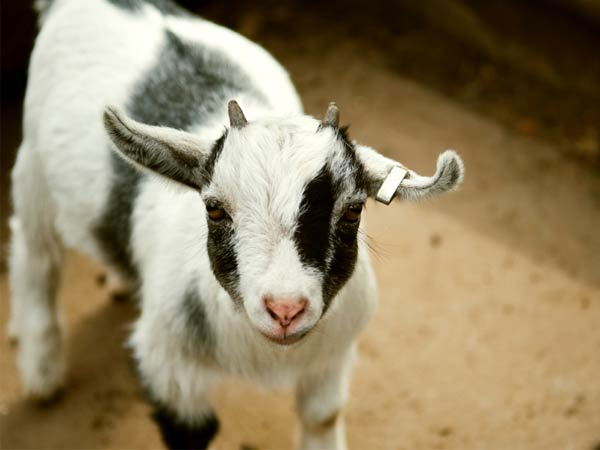 """Goats on Carol Ellis´ Goat Flower Farms are known as """"fainting goats,"""" but the proper term is """"myotonic."""" They´ve caught on so much that shows at MTV and the BBC would like to feature them. (Photo via iStock)"""