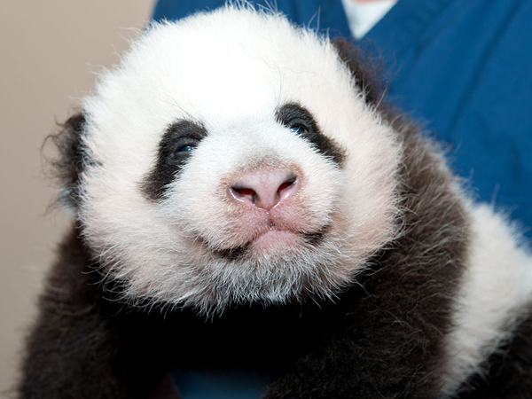 Baby panda cub at the Smithsonian's National Zoo.