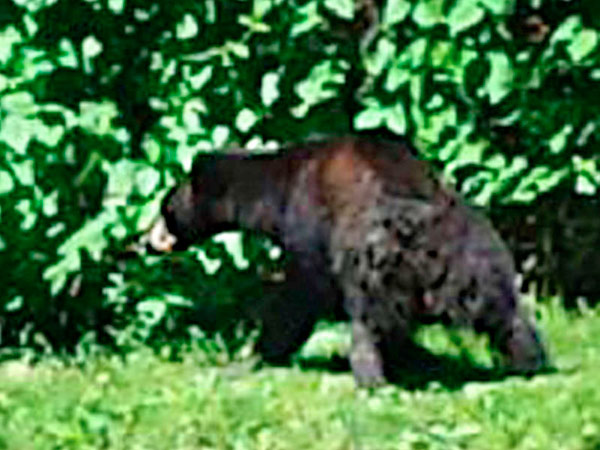 The bear in a Bensalem yard. It climbed a fence and eluded authorities. Courtesy of Rick Voran Jr.