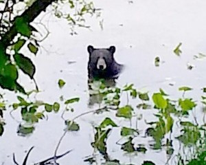 A black bear was sighted taking a dip in Strawbridge Lake in Moorestown over the Memorial Day weekend.  (Photo published by the Burlington County Times)
