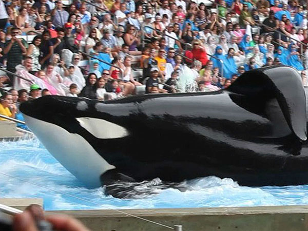 Blackfish What Price Keeping Wild Orcas Captive Philly