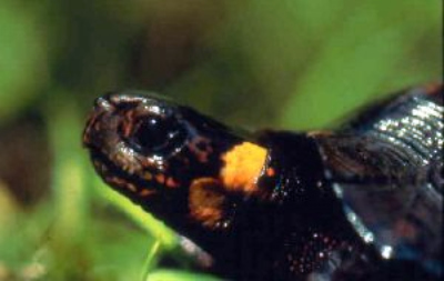 An endangered bog turtle. (Photo by the NJ Fish and Wildlife)