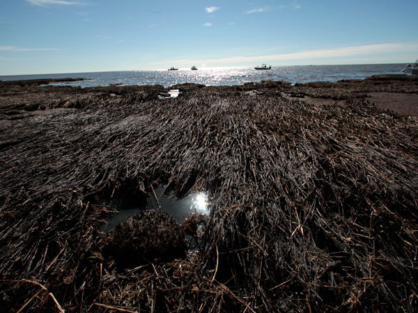 Oil from the Deepwater Horizon disaster remains in marshes off the coast of Louisiana.