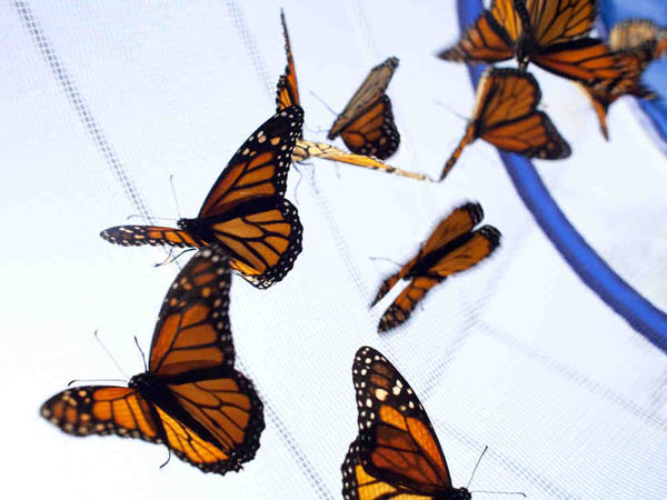 Monarch butterflies in a holding cage are readied for release. (Ed Hille / Staff Photographer)