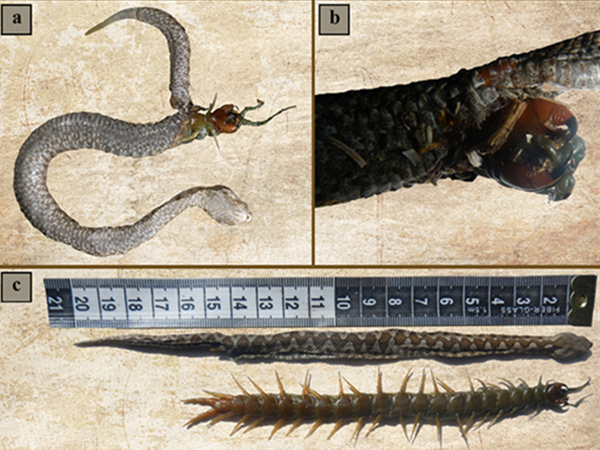 Centipede eats its way out of snake's stomach - Philly