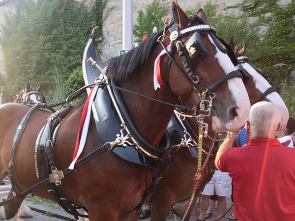 The Budweiser Clydesdales are coming to the Urban Saloon. (Courtesy of the Urban Saloon)
