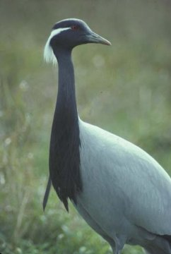Demoiselle crane (Photo courtesy of the International Crane Foundation)