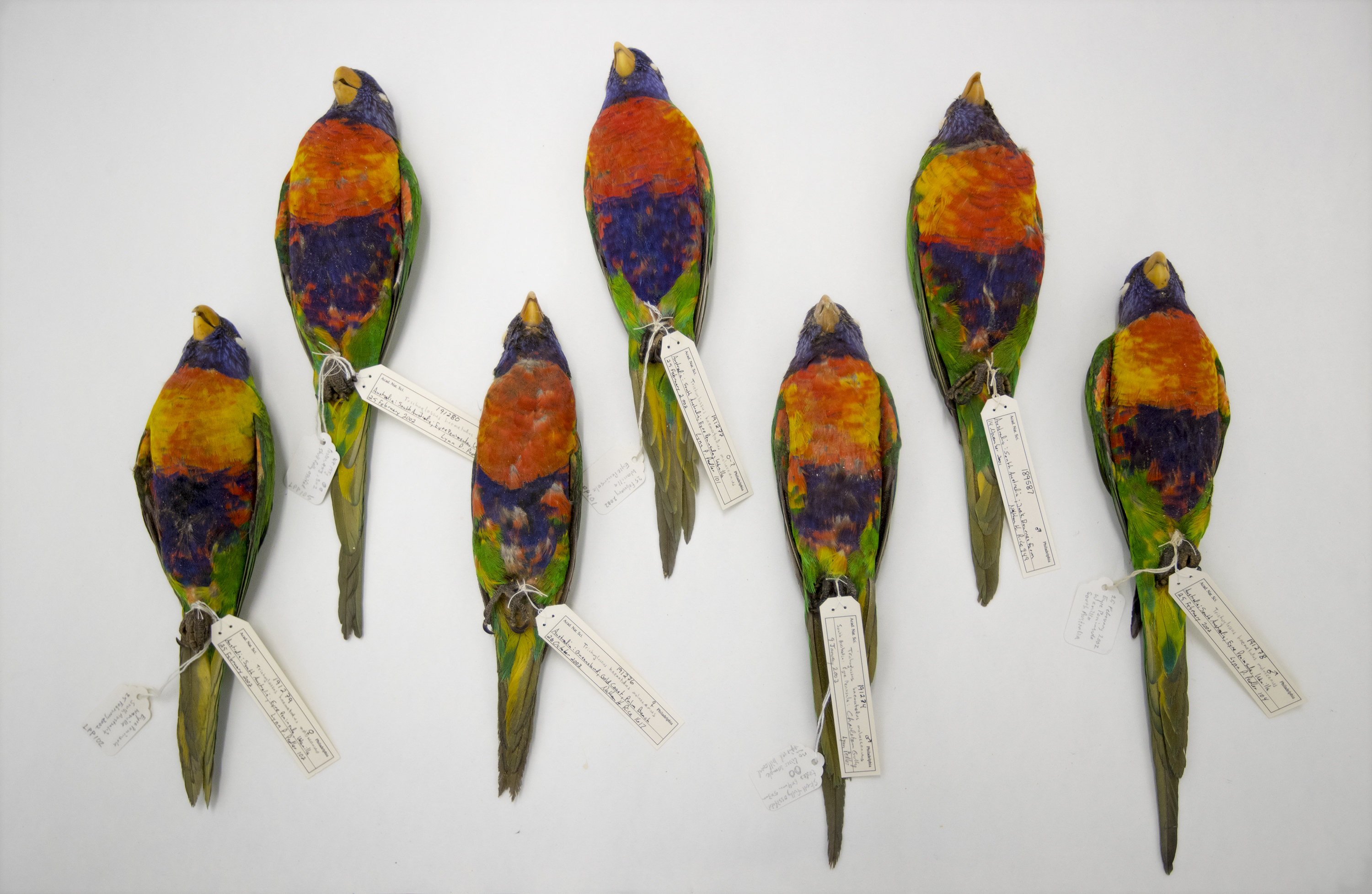 Rainbow lorikeet specimens from the Academy of Natural Science's collection that chemist Paula Zelanko used to measure the carbon and nitrogen stable isotopes in their feathers.