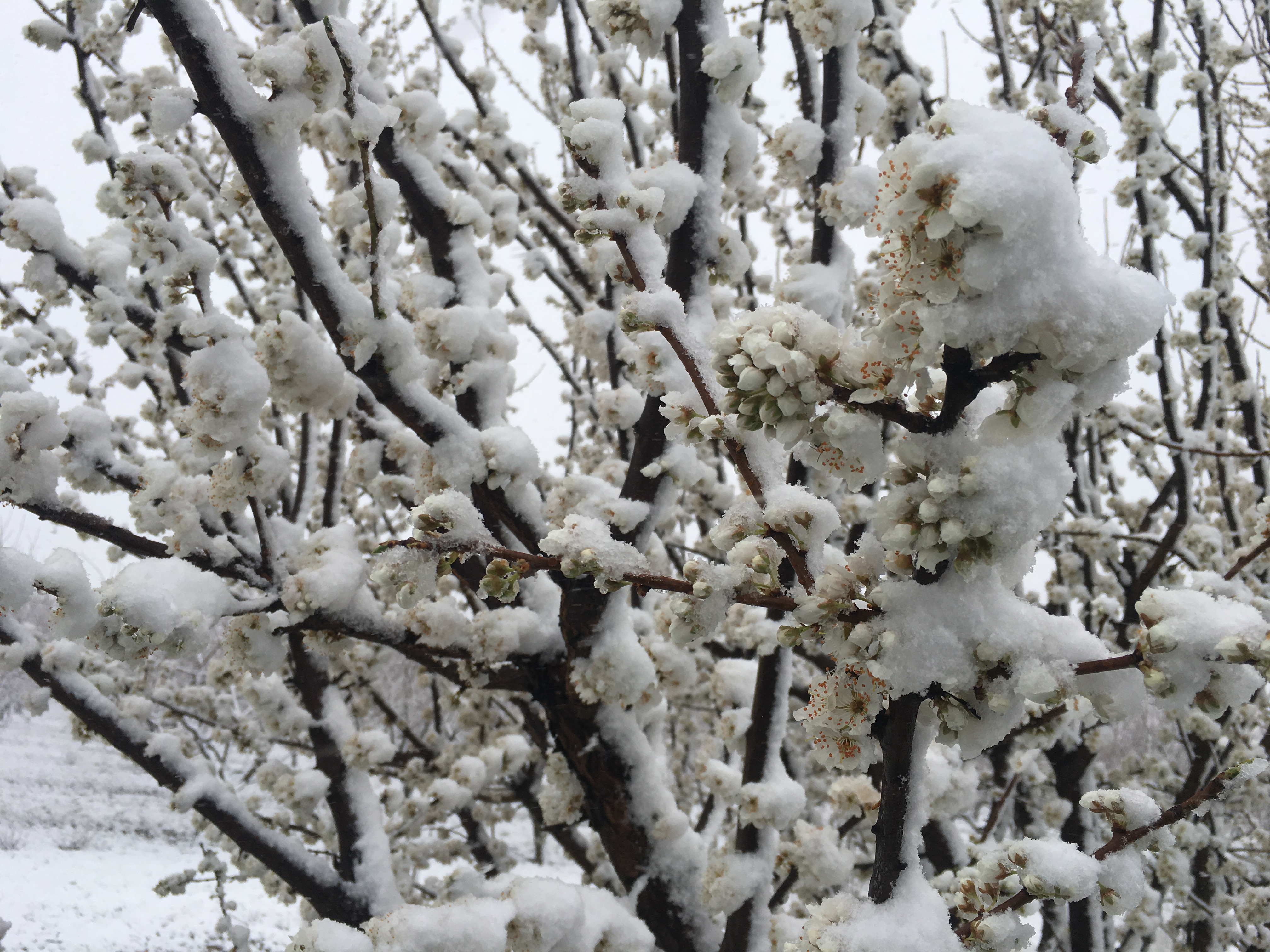 Snow on plum trees in Gloucester County, New Jersey.
