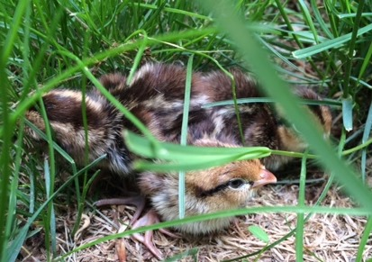 Bobwhite chicks in a nest on the ground..